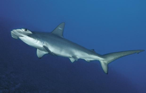 scalloped-hammerhead-shark