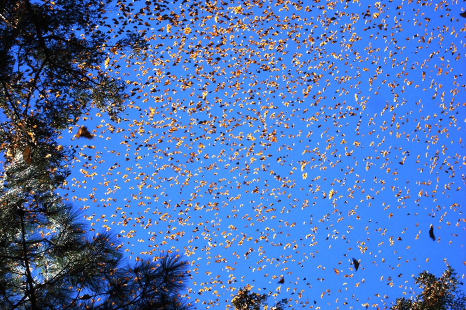 16 - The migration of the Monarch Butterfly