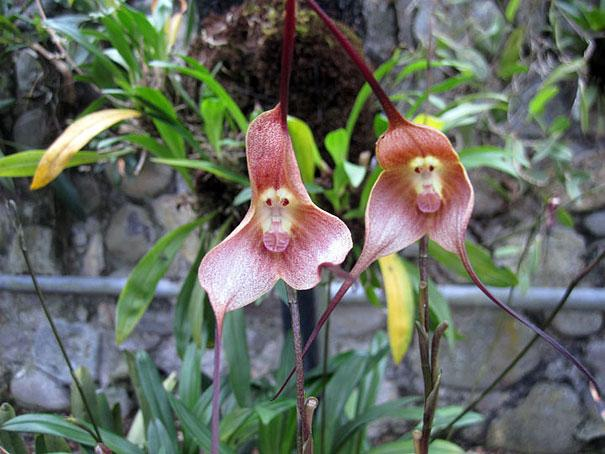 flowers-look-like-animals-people-monkeys-orchids-pareidolia-5