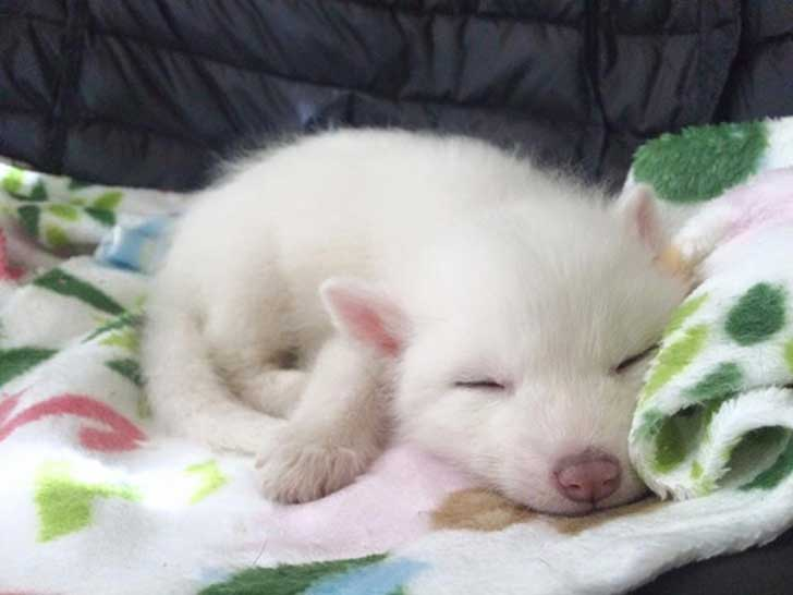 rylai-siberian-fox-red-silver-pet-domesticated-14