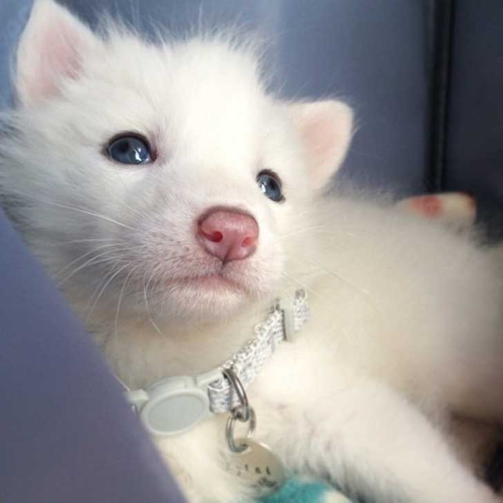 rylai-siberian-fox-red-silver-pet-domesticated-9-605x605