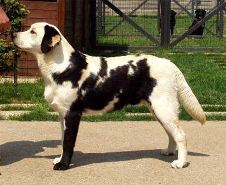 dog-coat-markings-13