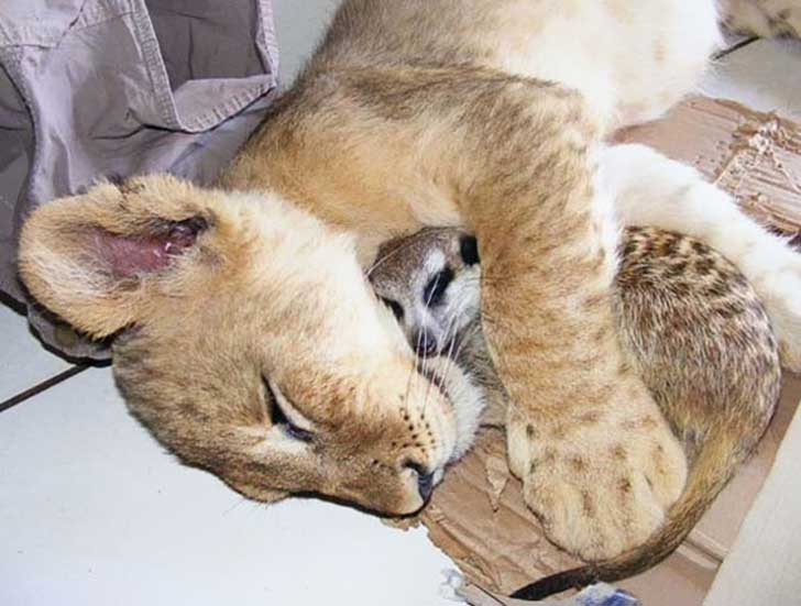unlikely-sleeping-buddies-animal-friendship-61__605