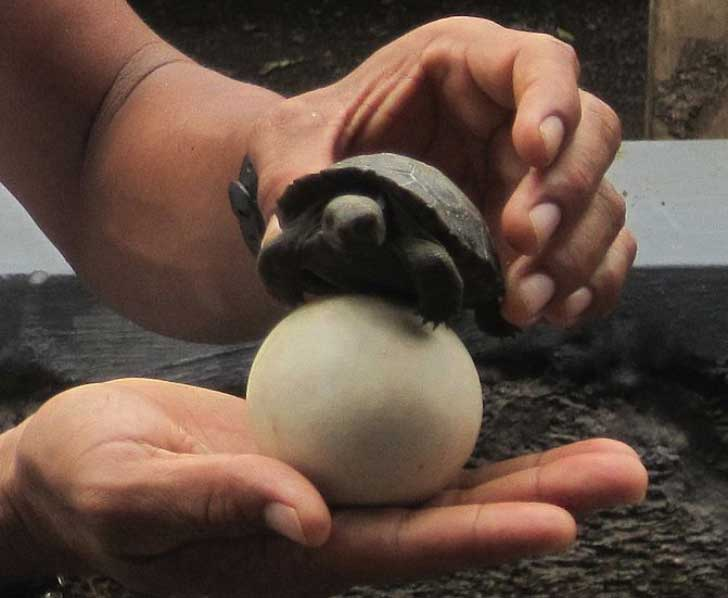 671px-Galapagos_egg_and_hatchling