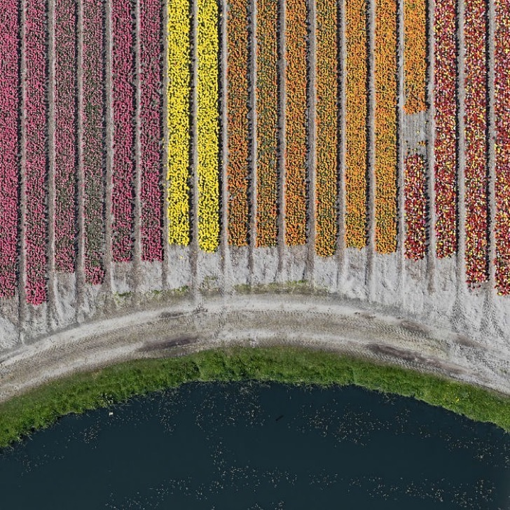 tulip-fields-aerial-photography-netherlands-bernhard-lang-577276fb0f49a__700