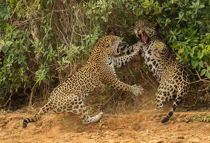 the-spat--joe-mcdonald-from-the-united-states-watched-a-female-jaguar-attack-a-male-companion-near-a-river-in-brazil