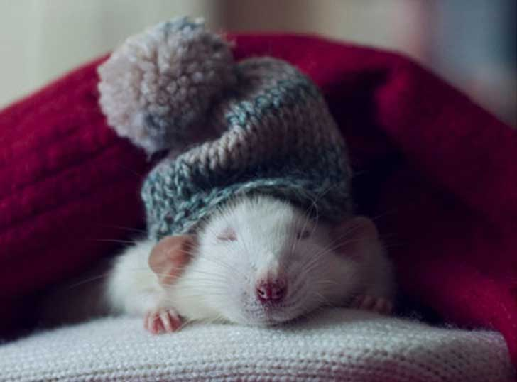 rat-wearing-knit-hat-JF