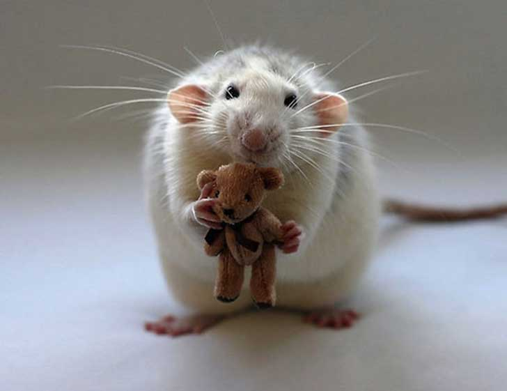 white-rat-brown-teddy-EVD