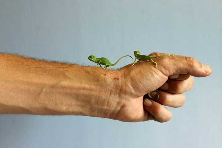 cute-baby-chameleons-hatch-taronga-zoo-sydney-10