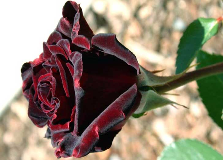 Black_baccara_rose_Wallpaper_re8ho