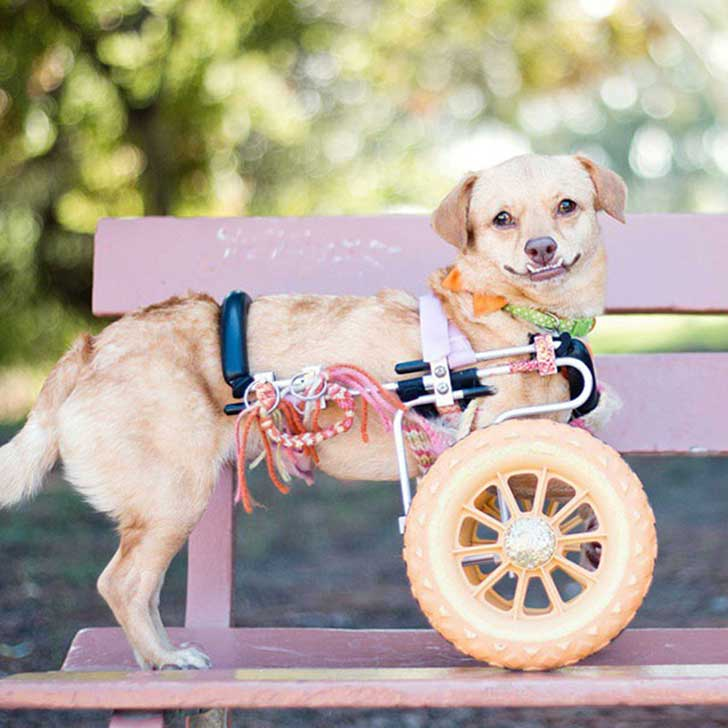 adopted-disabled-dog-daisy-underbite-unite-10