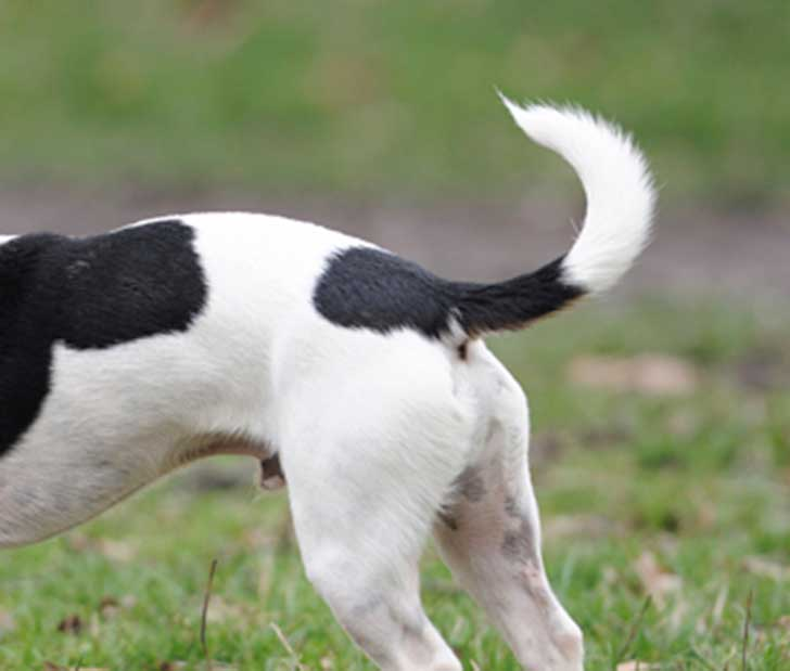 dogs-tail