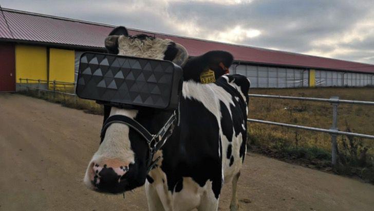 Óculos de realidade virtual em vacas fazem elas acreditarem que são livres - Assim produzem mais leite
